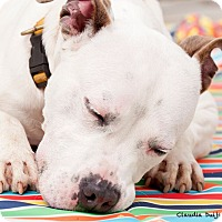 American Bulldog/American Staffordshire Terrier Mix Dog for adoption in Long Beach, New York - Ghost