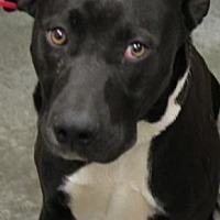 American Pit Bull Terrier Dog for adoption in Fulton, Missouri - August *Kentucky