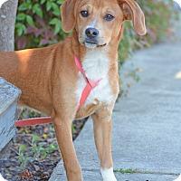 Adopt A Pet :: Amadeus - Old Saybrook, CT