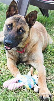 Belgian Malinois Dog for adoption in Patterson, California - Dante