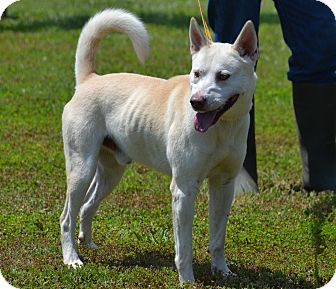 Akita/Labrador Retriever Mix Dog for adoption in Lebanon, Missouri - Charlie
