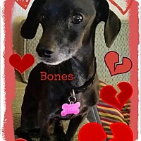 Adopt A Pet :: Bones - Elkhart, IN