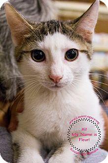 Domestic Shorthair Cat for adoption in Staten Island, New York - Fleur