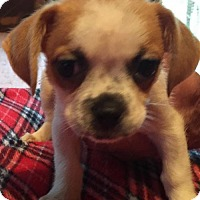 Adopt A Pet :: HUDSON BABY BARKLEY - Waldron, AR