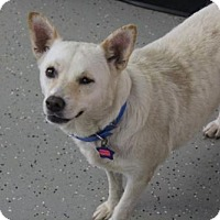 Corgi Mix Dog for adoption in Phoenix, Arizona - Chloe