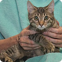 Domestic Shorthair Kitten for adoption in Reston, Virginia - Cabrese