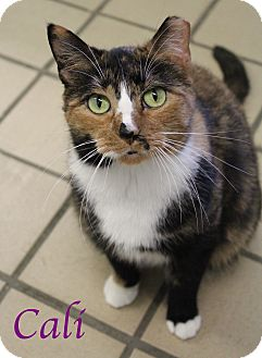 Domestic Shorthair Cat for adoption in Bradenton, Florida - Cali