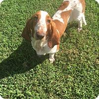 Adopt A Pet :: Blue Belle - Russellville, KY