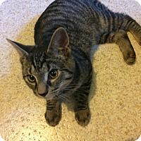 Domestic Shorthair Kitten for adoption in Salem, Ohio - Hemi