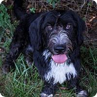 Basset Hound/Wirehaired Fox Terrier Mix Dog for adoption in Fairfax, Virginia - Star