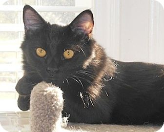 Domestic Mediumhair Kitten for adoption in North Highlands, California - Bissel