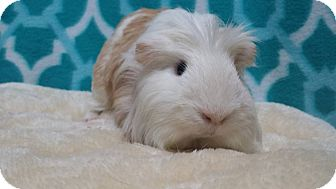 Guinea Pig for adoption in South Bend, Indiana - Kristoff