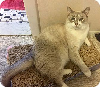 Siamese Cat for adoption in Wyandotte, Michigan - Llama Mama