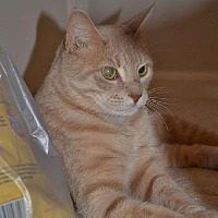 Domestic Shorthair Cat for adoption in Greensboro, North Carolina - Stormie