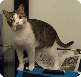 Domestic Shorthair Cat for adoption in Greenville, South Carolina - Daisy