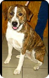 Newfoundland/Boxer Mix Dog for adoption in Sedona, Arizona - Kira