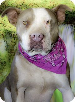 American Staffordshire Terrier/English Bulldog Mix Dog for adoption in Sacramento, California - Zoey couch potato