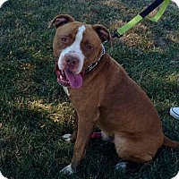 Adopt A Pet :: Rocko - Chicago, IL
