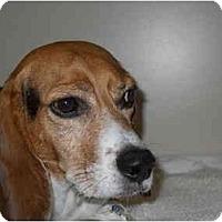 Adopt A Pet :: Pistol - Phoenix, AZ