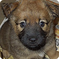 Adopt A Pet :: Izzy's male pup - Washington, PA