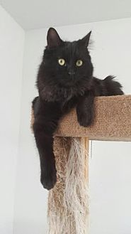 Domestic Mediumhair Cat for adoption in Lucerne Valley, California - Glitter and Sparkle