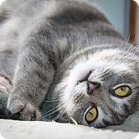 American Shorthair Cat for adoption in Middletown, New York - Missy