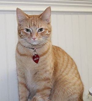 American Shorthair Cat for adoption in Danville, Kentucky - Freida