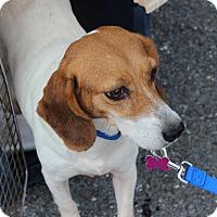 Adopt A Pet :: Pom Pom - Dumfries, VA