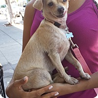 Adopt A Pet :: Cindy - Encino, CA