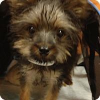 Adopt A Pet :: Major - Fairview Heights, IL