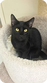Domestic Shorthair Cat for adoption in East Meadow, New York - Panther