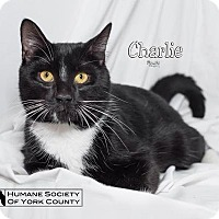 Domestic Shorthair Cat for adoption in Fort Mill, South Carolina - Charlie 5541