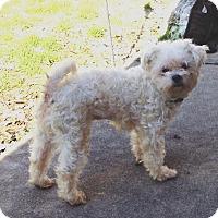 Adopt A Pet :: Pearl - Westport, CT