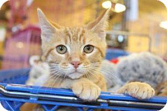 Domestic Shorthair Kitten for adoption in Louisville, Kentucky - Travis