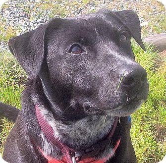 Labrador Retriever/Collie Mix Dog for adoption in Surrey, British Columbia - Banjo