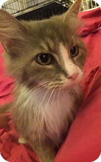 Domestic Mediumhair Cat for adoption in Rochester, Michigan - Hannah