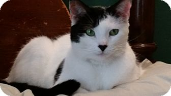 Domestic Shorthair Cat for adoption in Jacksonville, Florida - Valentine