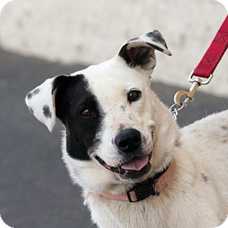 Pointer Mix Dog for adoption in Palmdale, California - Pudding