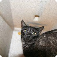 Domestic Shorthair Cat for adoption in Wildomar, California - Maggie