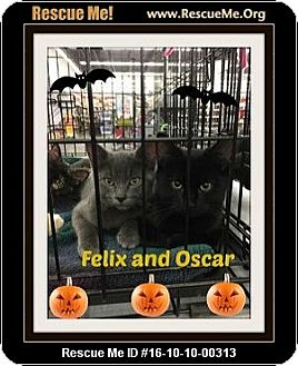 Domestic Shorthair Kitten for adoption in Highland, Michigan - Felix and Oscar