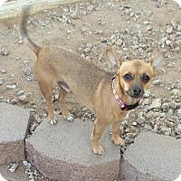 Adopt A Pet :: Pedro - Phoenix, AZ