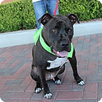 American Pit Bull Terrier Mix Dog for adoption in Las Vegas, Nevada - BANKS