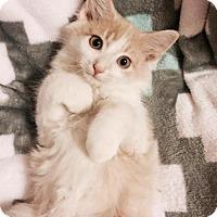 Adopt A Pet :: Fluffernutter - White Bluff, TN
