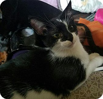 Domestic Shorthair Cat for adoption in Tampa, Florida - Gabby