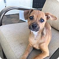 Adopt A Pet :: Koko - San Diego, CA