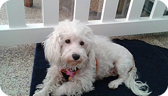 Maltese Mix Dog for adoption in Thousand Oaks, California - Tabatha