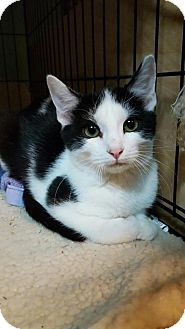 Domestic Shorthair Kitten for adoption in Fort Worth, Texas - Rascal