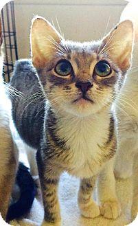 Domestic Shorthair Kitten for adoption in san diego, California - Stooge