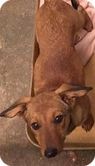 Jack Russell Terrier Mix Puppy for adoption in Pompton Lakes, New Jersey - Little Cookie