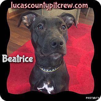 Labrador Retriever/American Pit Bull Terrier Mix Puppy for adoption in Toledo, Ohio - Beatrice